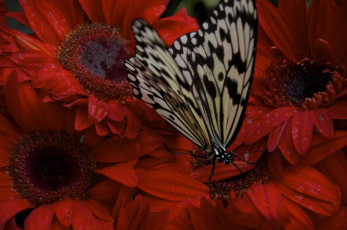 Idea leuconoe Butterfly on Gerber Daisy