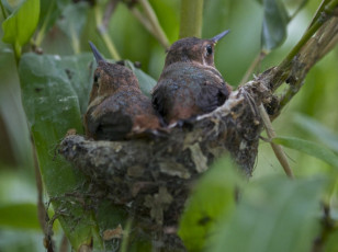 Hummingbird Chicks