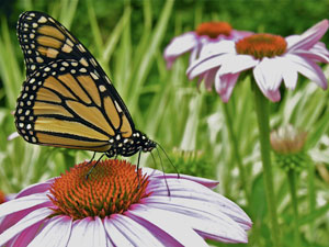 Our Pollinators-Butterfly-Monarch-Danaus-plexippus-Yellow-Black-Orange-Echinacea-purpurea-Purple-Coneflower
